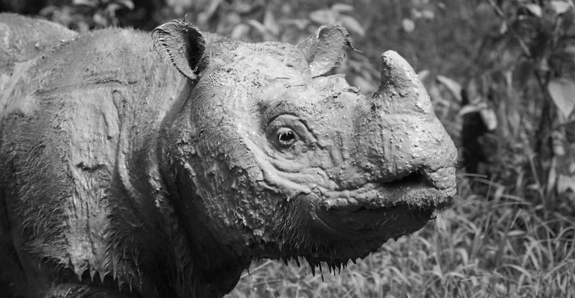¡Ay no! Murió Tam, el último rinoceronte de Sumatra macho de Malasia