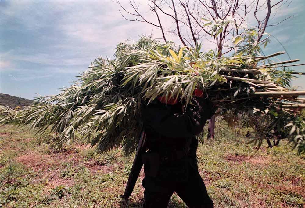 Amapola-marihuana-cultivos-guerrero