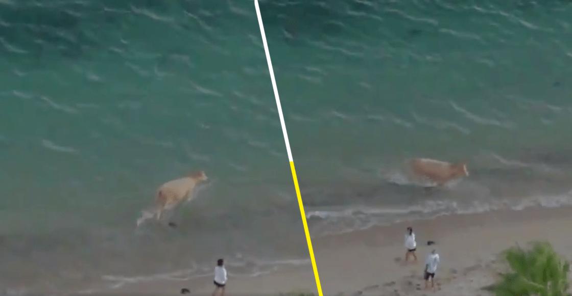 ¿La verdadera vaquita marina? Una pequeña vaca se metió al mar en Sonora y por supuesto que se hizo viral