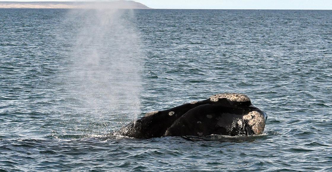 Graban por primera vez el canto de una ballena franca en busca de pareja