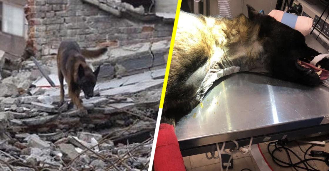 Ayudemos a Chichí: El perrito rescatista del 19S necesita ayuda para poder caminar otra vez
