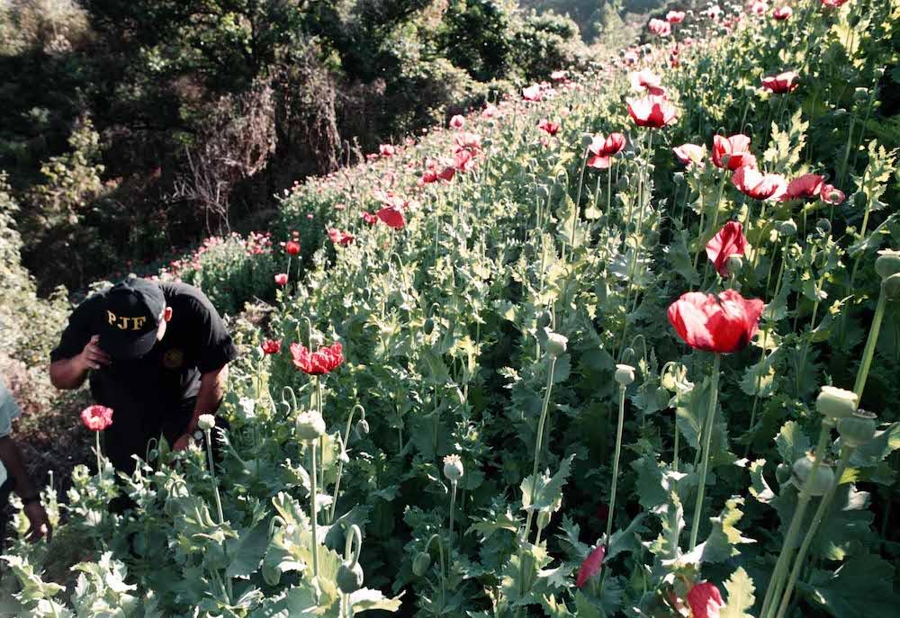 cultivo-amapola-guerrero-droga