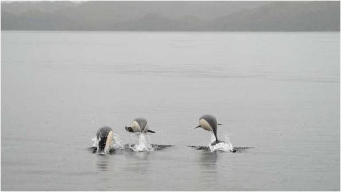 Delfín Liso captado en cámara por primera vez en Chile