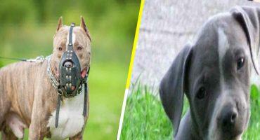 Las razas de perros más peligrosas para niños, según la ciencia 