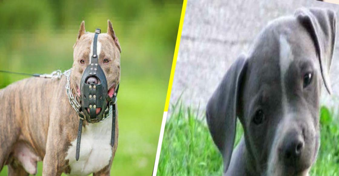 Las razas de perros más peligrosas para niños, según la ciencia 🐶