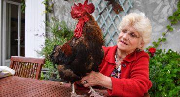 Maurice, un gallo que fue demandado en Francia por