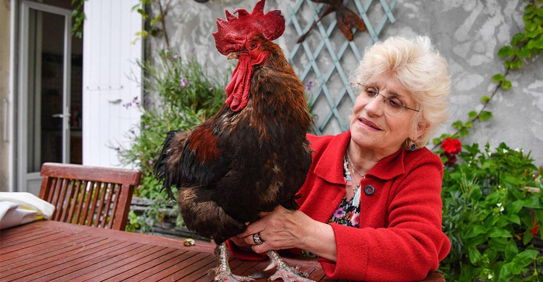 """Maurice, un gallo que fue demandado en Francia por """"cantar demasiado temprano"""""""
