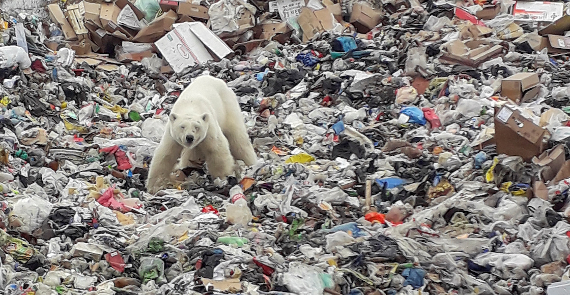 Hambriento y agotado, un oso polar buscaba comida en un basurero