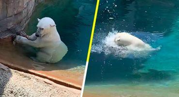 La cena está servida: Graban a un oso polar comiéndose a un pato en un zoológico