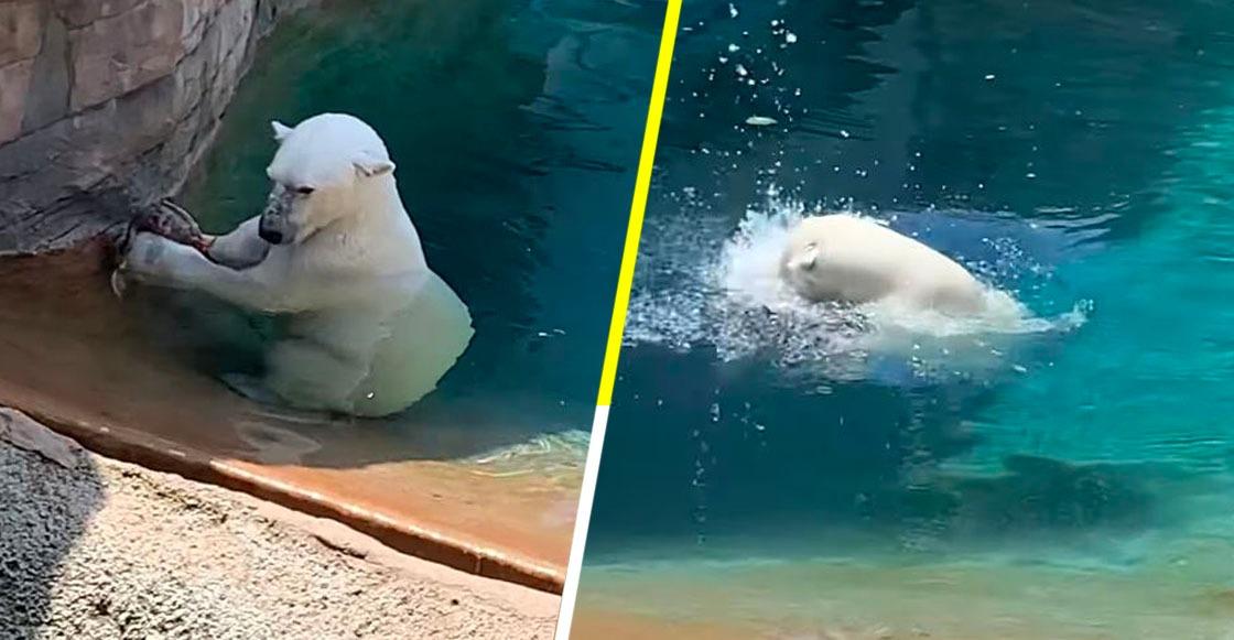 Un oso polar devora a un pato en un zoológico