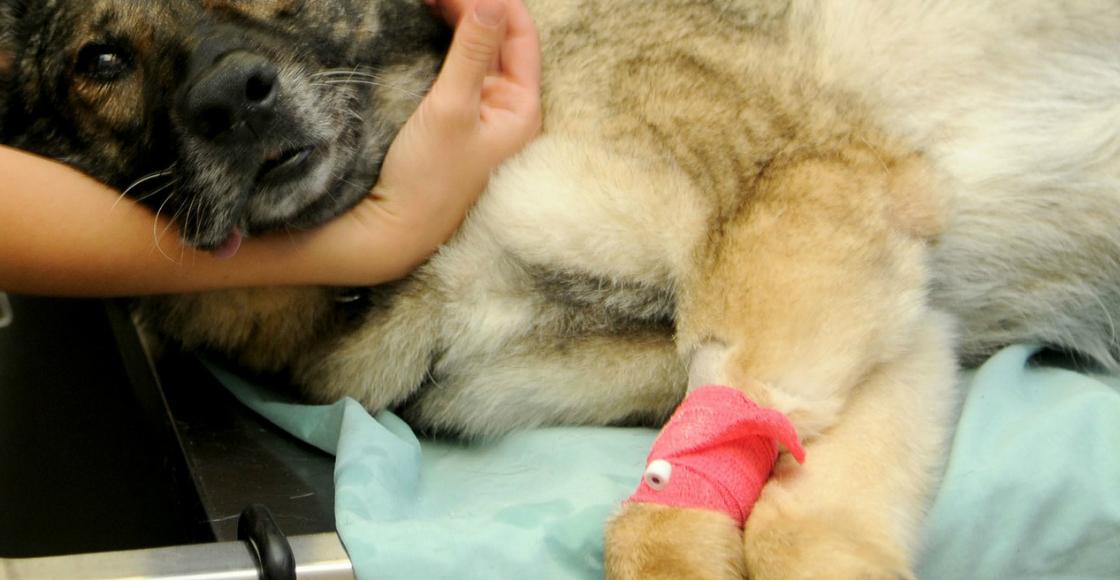 #JusticiaParaChincolo: Lanzan petición para castigar al responsable de apuñalar a un perrito en Edomex