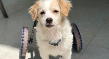 Conozcan la emotiva historia de 'Piojito', el perro que volvió a usar sus patitas traseras