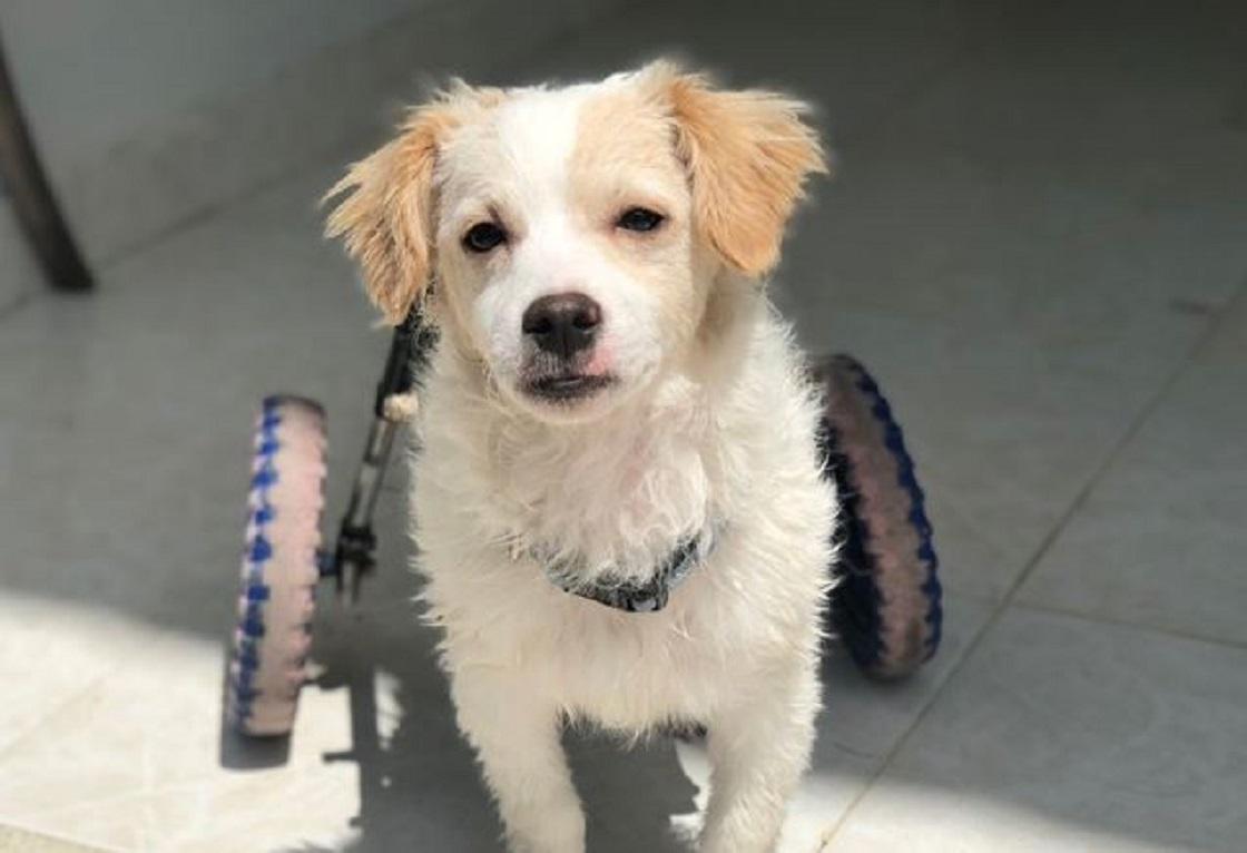 Piojito, el perro que se recuperó de una lesión en sus patitas