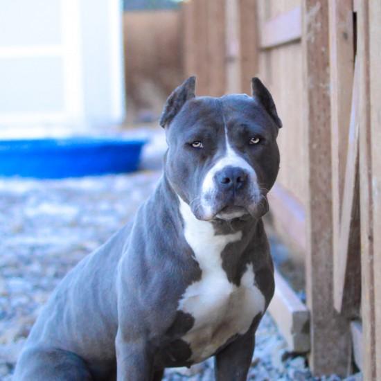 pitbull-blue