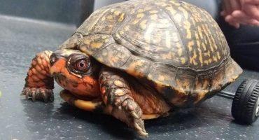 ¡Ternuringa! Esta tortuga fue salvada con ruedas Lego