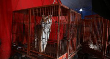 A 4 años de la prohibición del uso de animales en circos, se desconoce la ubicación de mil 600 ejemplares