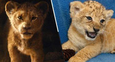 Ella es Bahati, la leoncita que sirvió de modelo para crear a Simba en 'El rey león' 😍