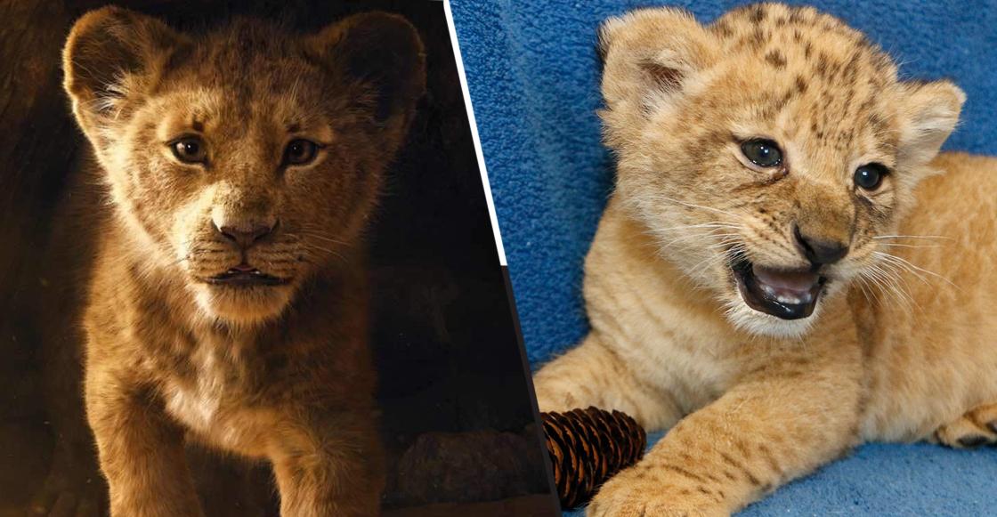 Ella es Bahati, la leoncita que sirvió de modelo para crear a Simba en 'El rey león'