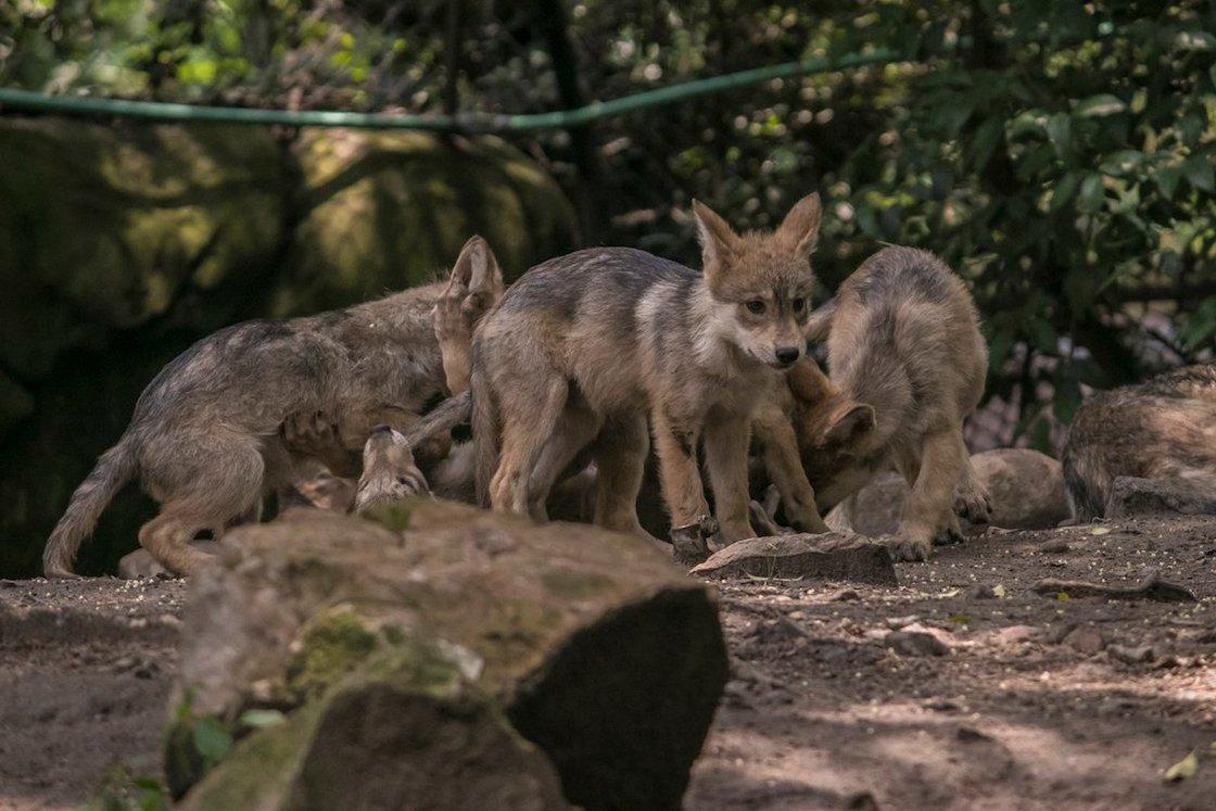 concurso-nombre-lobos-chapultepec-lobitos-6-sedema-02