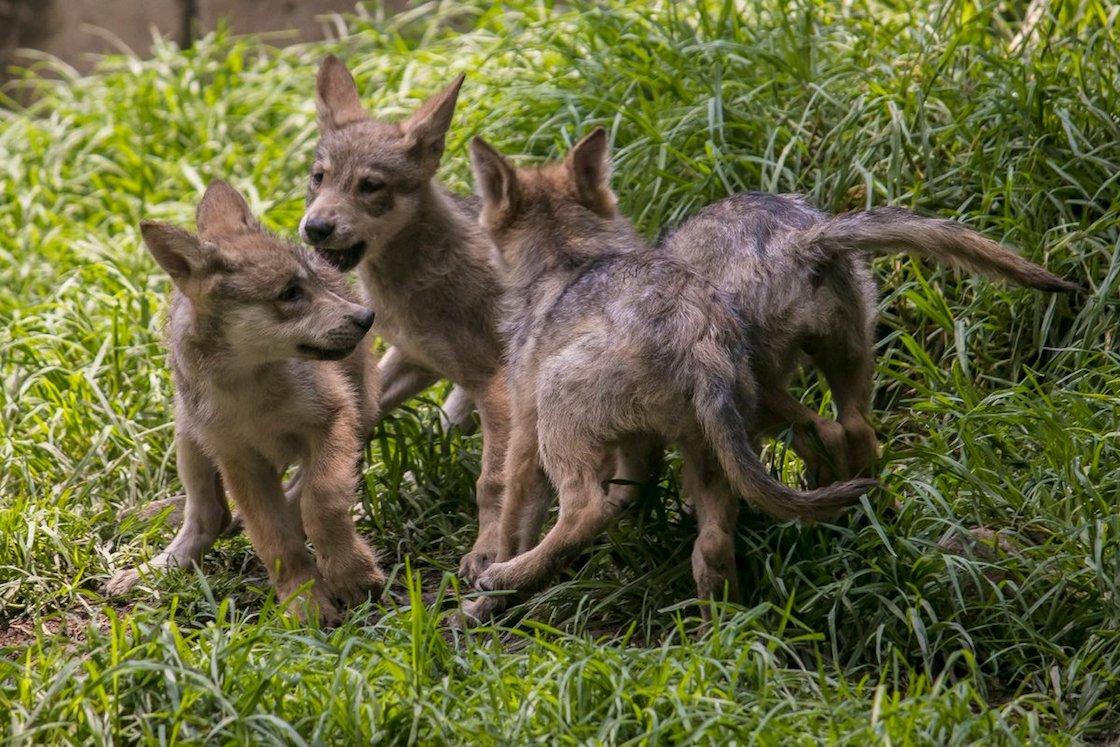 concurso-nombre-lobos-chapultepec-lobitos-6-sedema-03