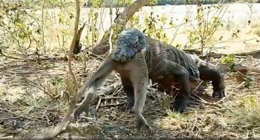 ¡ALV! Video muestra cómo un dragón de Komodo se traga entero a un mono