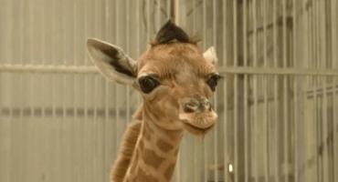 ¡Ternuringa! Nace una jirafa con copete muy peuliar en el zoológico de París
