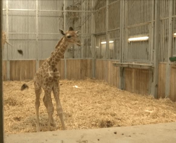 ¡Ternuringa! Nace una jirafa con copete muy peuliar en el zoológico de Paris