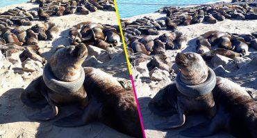 ¡Ay no! Una llanta se atoró en el cuello de un lobo marino e intentan rescatarlo 😥