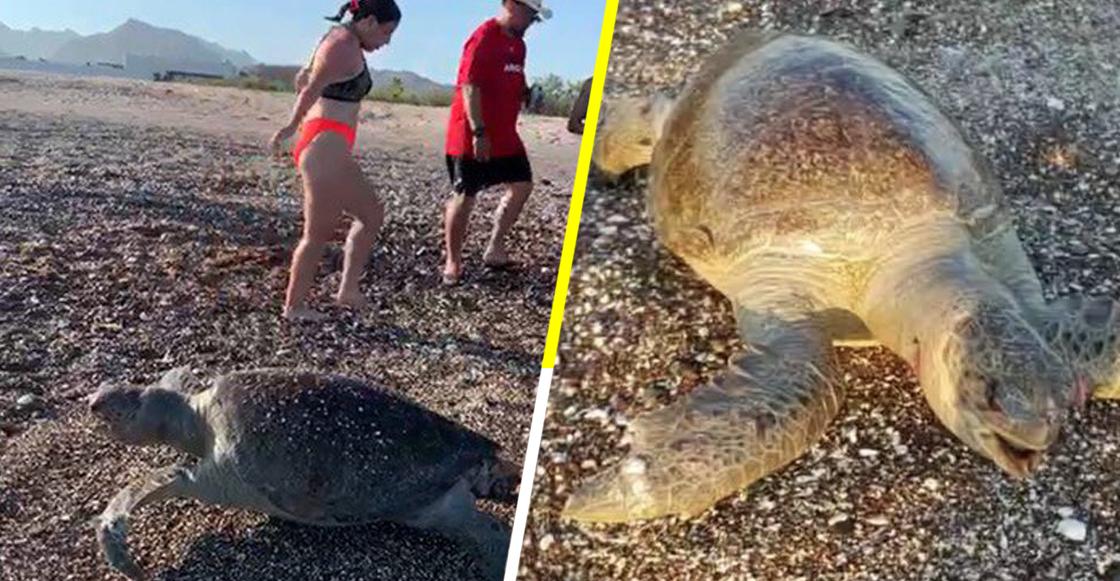 Graban la muerte de una tortuga marina en Mar de Cortés; culpan a derrame de Grupo México