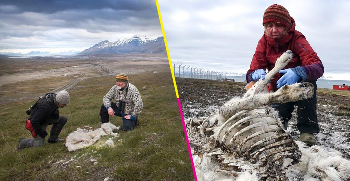 Al menos 200 renos murieron de hambre en isla de Noruega por calentamiento global
