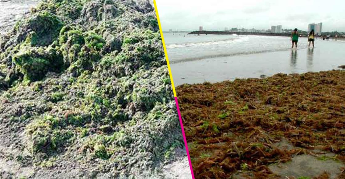 A Boca del Río, Veracruz, comenzó a llegar sargazo verde; no es peligrosa para los bañistas