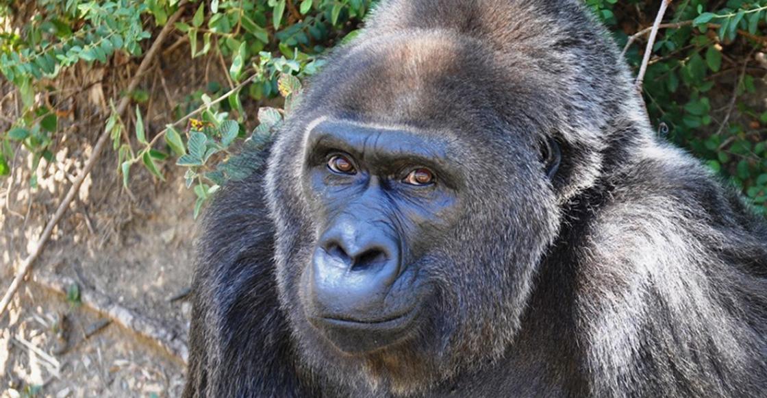 Murió Trudy, una de los últimos gorilas capturadas en libertad para exhibición