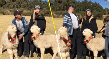 Y en la nota idiota del día: Una alpaca le escupió a Sergio Mayer cuando intentaba tomarse una foto con ella
