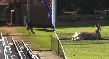 Un canguro se sintió futbolista e invadió un partido de futbol en Australia