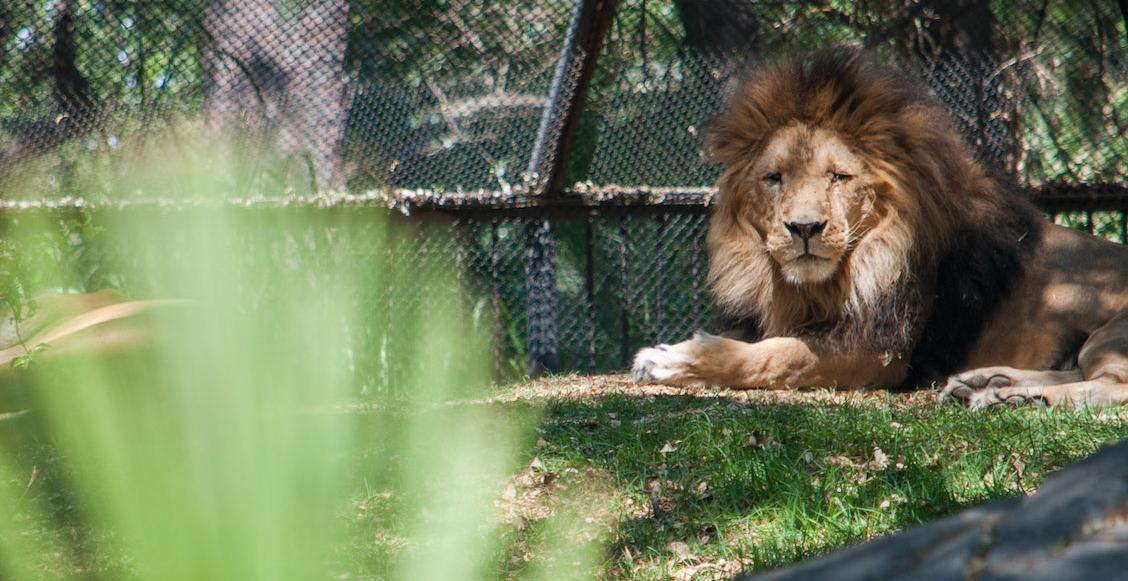 Revelan exceso de austeridad en cuidado de animales de zoológicos CDMX; la 4T corrige