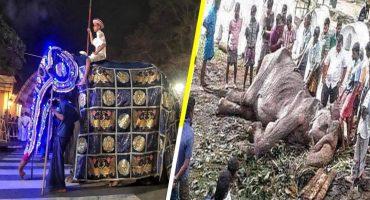 Tikiri, la elefanta explotada en un festival, se desploma por desnutrición y cansancio 🐘😪