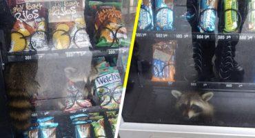 Así te quería agarrar: Rescatan a mapache que quedó atrapado en maquina expendedora