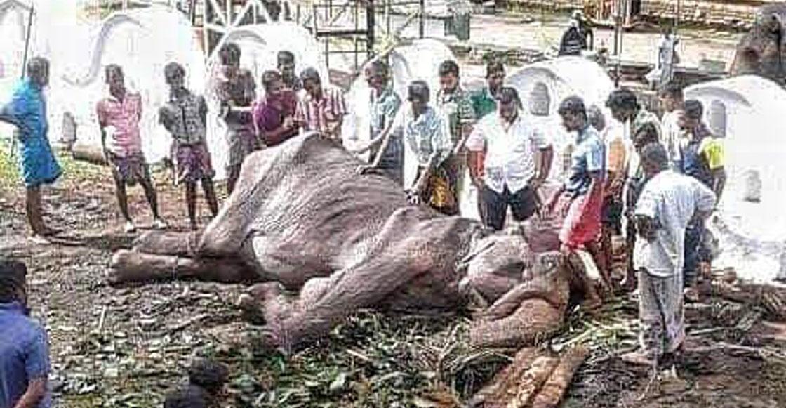 Mundo enfermo y triste: Elefanta desnutrida que es obligada a desfilar ya no se puede poner de pie