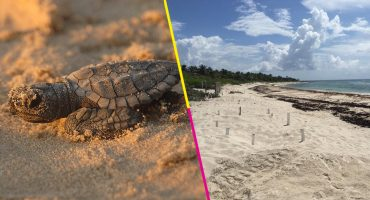 Gobierno de Quintana Roo afirma que no hay muerte masiva de tortugas por sargazo