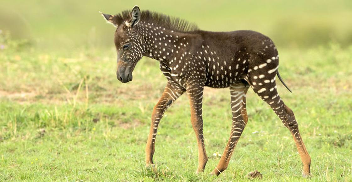 Cría de cebra nació con puntos en lugar de rayas y el internet explotó de amor