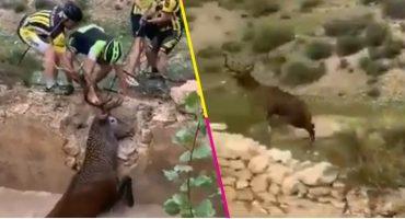 ¡Héroes! Este grupo de ciclistas salvó a un ciervo de morir ahogado