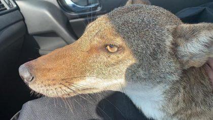 ¡Una segunda oportunidad! Rescatan a un coyote herido pensando que era un perrito