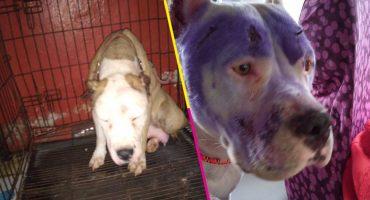 Ahora sí: Vinculan a proceso a agresor de una perrita pitbull por crueldad animal