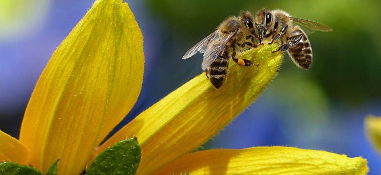 ¡Es oficial! Las abejas son declaradas como el animal más importante de la Tierra