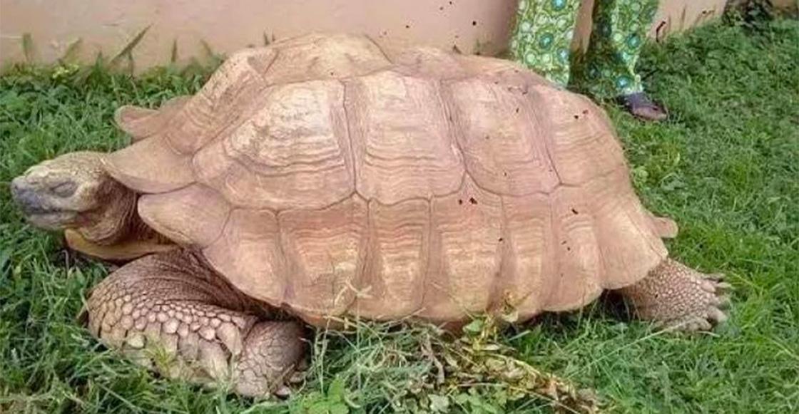 ¡Adiós, Alagba! Muere la tortuga más vieja de África a los 344 años