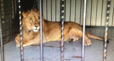 Aseguran leones africanos y drogas en bar clandestino de Mexicali