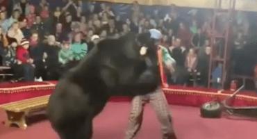 ¡No, Rulo, no hagas eso! Un oso de circo atacó a su domador en Rusia