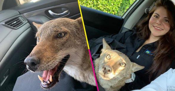 Murió Pancho, el coyote que rescataron pensando que era un perro 😞