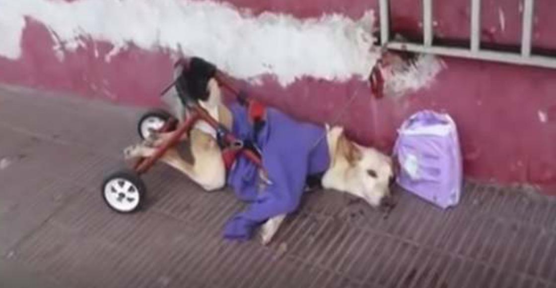 La historia más triste que leerás hoy: El caso de la perrita en silla de ruedas que fue abandonada