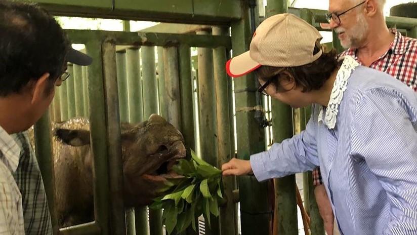 Oficialmente extinto en Malasia: Muere el último rinoceronte de Sumatra que habitaba ese país